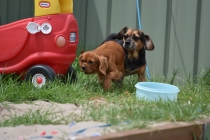Bobby-Cavalier-Banksia Park Puppies - 5 of 24