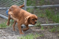 Bobby-Cavalier-Banksia Park Puppies - 7 of 24