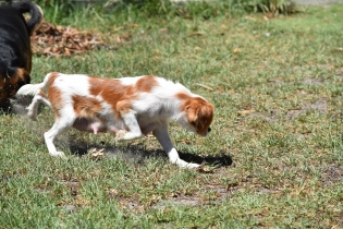 Bubble-Cavalier-Banksia park Puppies - 11 of 28