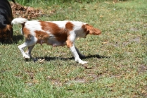 Bubble-Cavalier-Banksia park Puppies - 13 of 28
