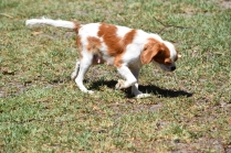 Bubble-Cavalier-Banksia park Puppies - 14 of 28