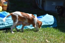 Bubble-Cavalier-Banksia park Puppies - 18 of 28