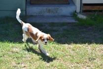 Bubble-Cavalier-Banksia park Puppies - 25 of 28