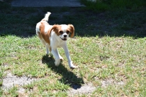 Bubble-Cavalier-Banksia park Puppies - 26 of 28