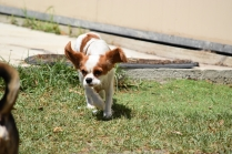 Bubble-Cavalier-Banksia park Puppies - 3 of 28