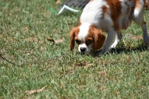 Bubble-Cavalier-Banksia park Puppies - 5 of 28