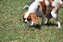 Bubble-Cavalier-Banksia park Puppies - 6 of 28