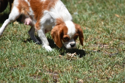 Bubble-Cavalier-Banksia park Puppies - 9 of 28