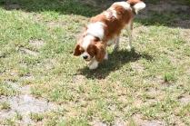 Dainty-Cavalier-Banksia Park Puppies - 10 of 24