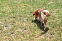 Dainty-Cavalier-Banksia Park Puppies - 11 of 24