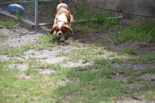 Dainty-Cavalier-Banksia Park Puppies - 14 of 24
