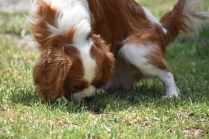 Dainty-Cavalier-Banksia Park Puppies - 15 of 24