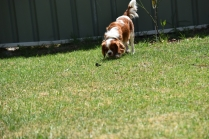 Dainty-Cavalier-Banksia Park Puppies - 17 of 24