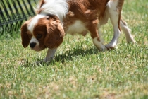Dainty-Cavalier-Banksia Park Puppies - 18 of 24