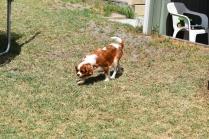 Dainty-Cavalier-Banksia Park Puppies - 19 of 24