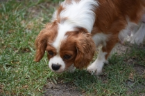 Dainty-Cavalier-Banksia Park Puppies - 20 of 24