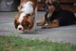 Dainty-Cavalier-Banksia Park Puppies - 21 of 24