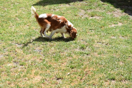 Dainty-Cavalier-Banksia Park Puppies - 4 of 24