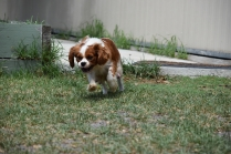 Dainty-Cavalier-Banksia Park Puppies - 5 of 24