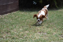 Dainty-Cavalier-Banksia Park Puppies - 6 of 24