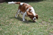 Dainty-Cavalier-Banksia Park Puppies - 8 of 24