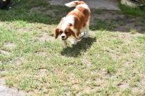 Dainty-Cavalier-Banksia Park Puppies - 9 of 24