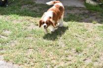 Dainty-Cavalier-Banksia Park Puppies - 9 of 24