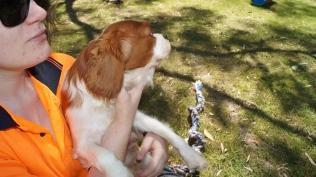 Demi-Cavalier-Banksia Park Puppies - 10 of 25