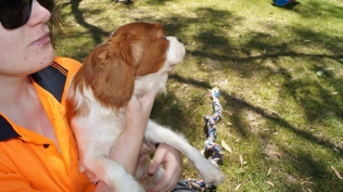 Demi-Cavalier-Banksia Park Puppies - 10 of 25
