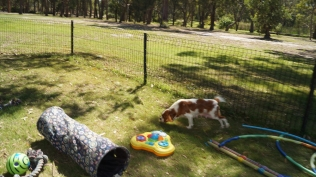 Demi-Cavalier-Banksia Park Puppies - 11 of 25