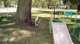 Demi-Cavalier-Banksia Park Puppies - 12 of 25