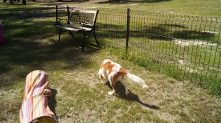 Demi-Cavalier-Banksia Park Puppies - 15 of 25