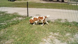 Demi-Cavalier-Banksia Park Puppies - 16 of 25
