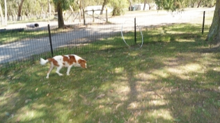 Demi-Cavalier-Banksia Park Puppies - 23 of 25
