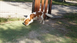 Demi-Cavalier-Banksia Park Puppies - 3 of 25