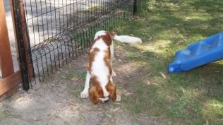 Demi-Cavalier-Banksia Park Puppies - 6 of 25