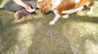 Dreamy-Cavalier-Banksia Park Puppies - 1 of 31