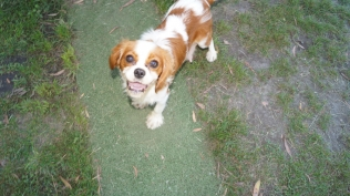 Dreamy-Cavalier-Banksia Park Puppies - 12 of 31