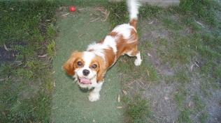 Dreamy-Cavalier-Banksia Park Puppies - 14 of 31