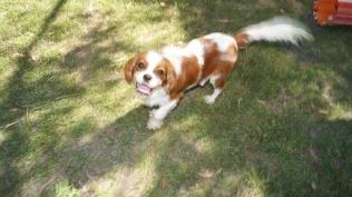 Dreamy-Cavalier-Banksia Park Puppies - 16 of 31
