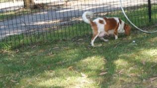 Dreamy-Cavalier-Banksia Park Puppies - 19 of 31