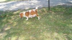 Dreamy-Cavalier-Banksia Park Puppies - 21 of 31