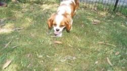 Dreamy-Cavalier-Banksia Park Puppies - 22 of 31