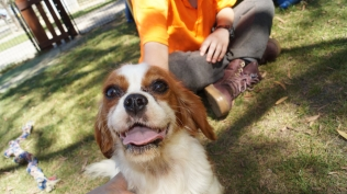 Dreamy-Cavalier-Banksia Park Puppies - 5 of 31