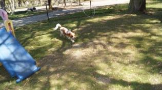Dreamy-Cavalier-Banksia Park Puppies - 6 of 31