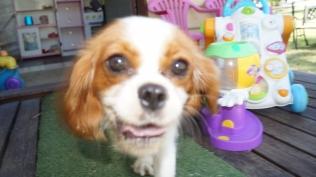 Dreamy-Cavalier-Banksia Park Puppies - 7 of 31