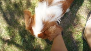 Dreamy-Cavalier-Banksia Park Puppies - 8 of 31