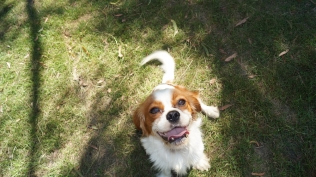Dreamy-Cavalier-Banksia Park Puppies - 9 of 31