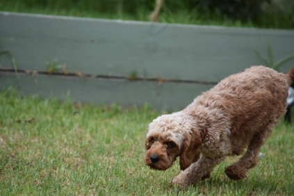 Gracie-Cavoodle-Banksia Park Puppies - 1 of 33