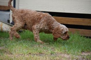 Gracie-Cavoodle-Banksia Park Puppies - 11 of 33